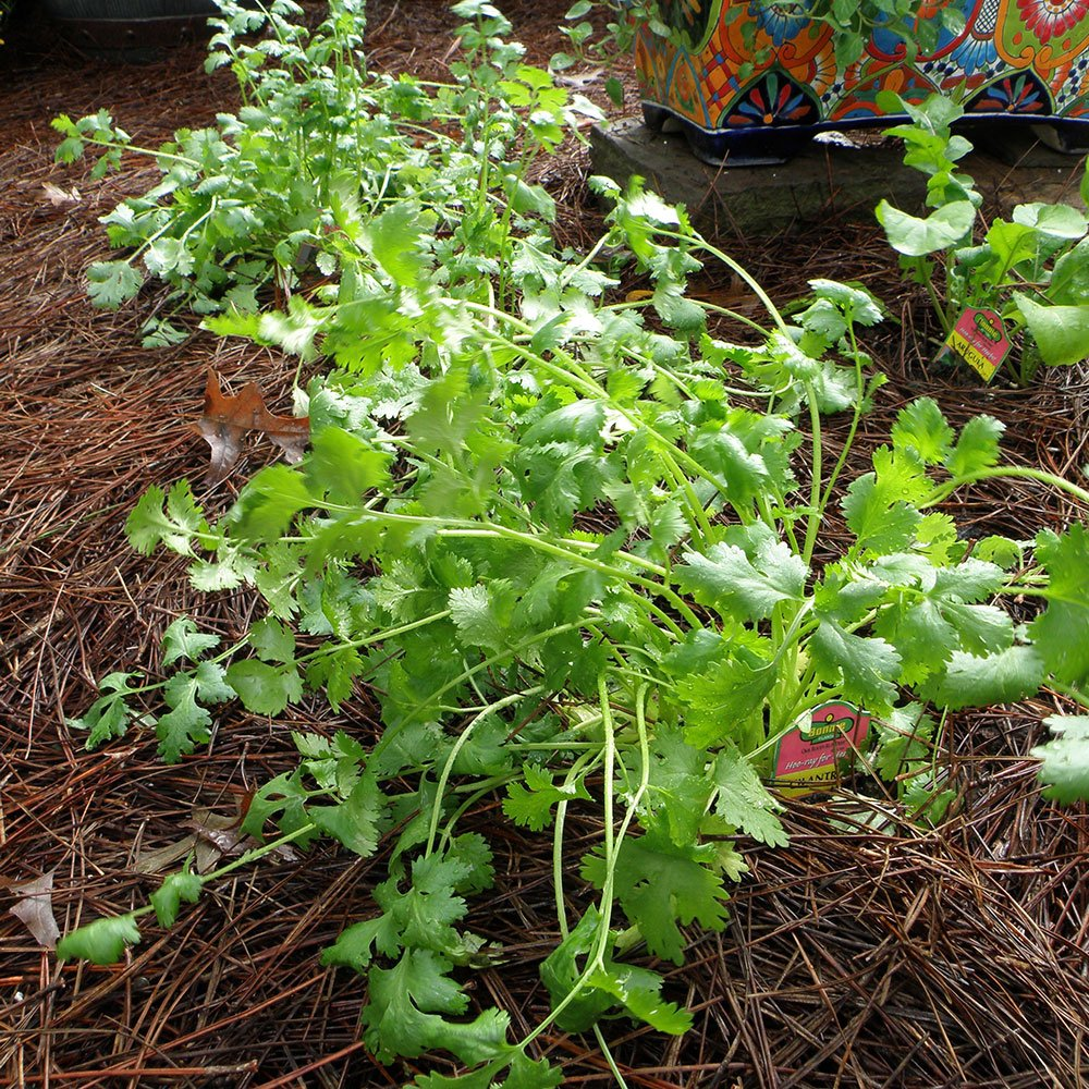 Cilantro is one of the easy to grow herbs