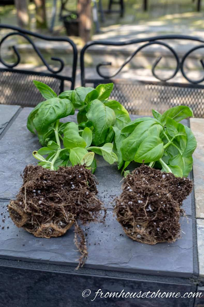 Split basil to get more herbs to grow