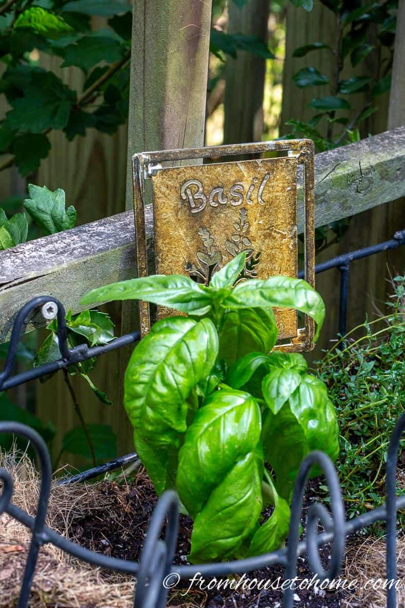 Basil is one of the easy herbs to grow