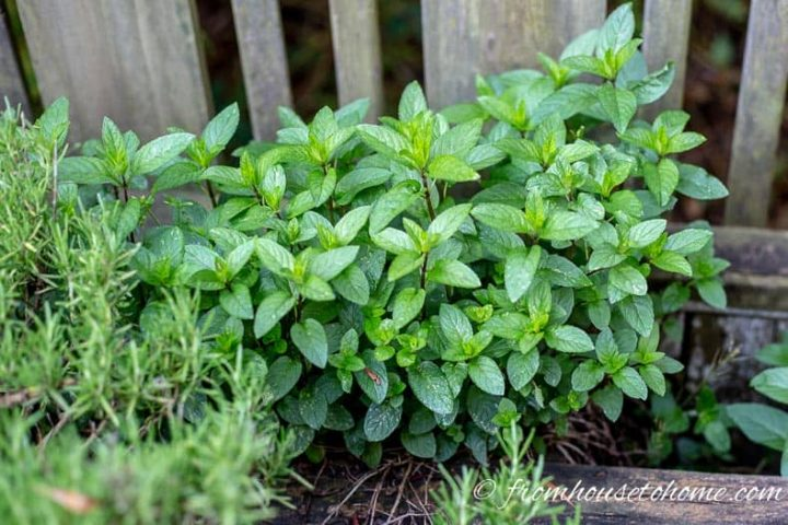Mint growing in a herb garden
