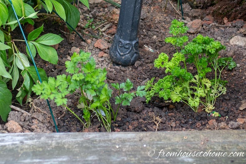 Flat leaf and curly leaf parsley are easy to grow herbs