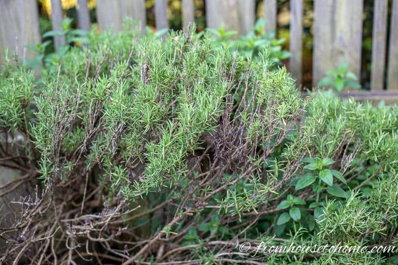 Rosemary is an easy herb to grow in the garden