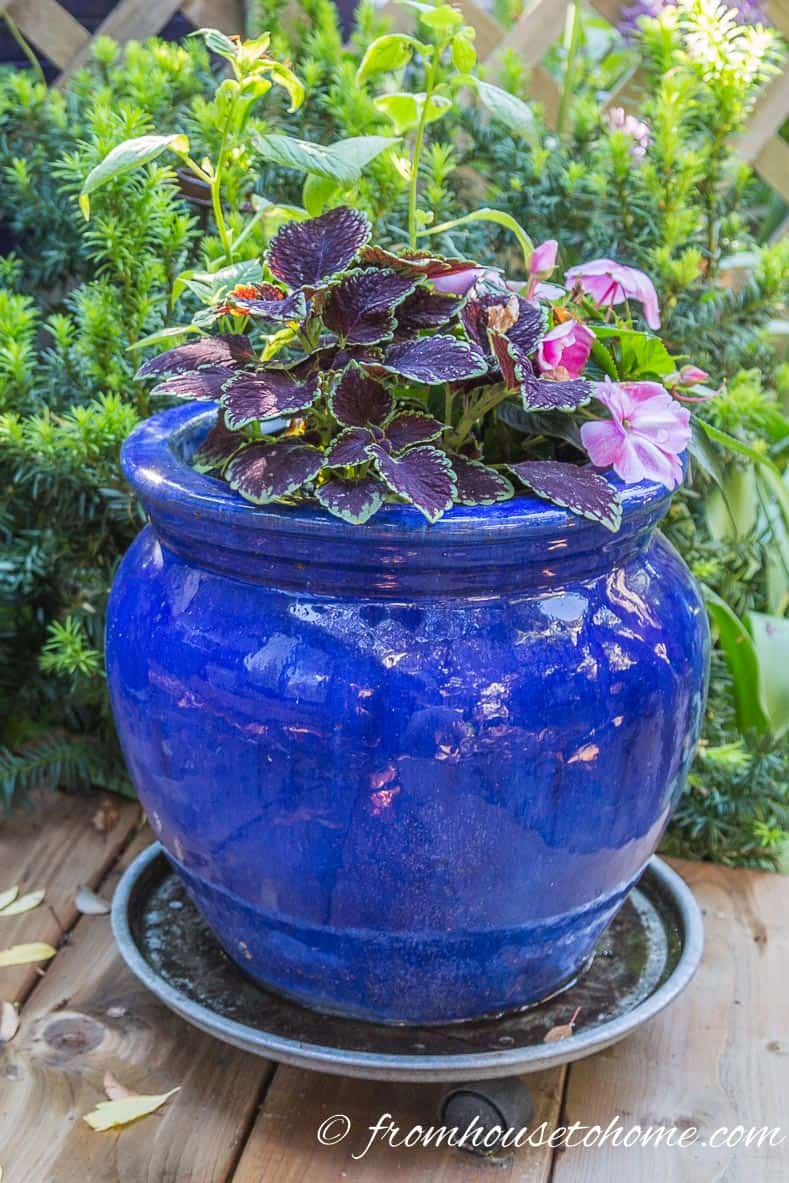 Coleus in a blue container