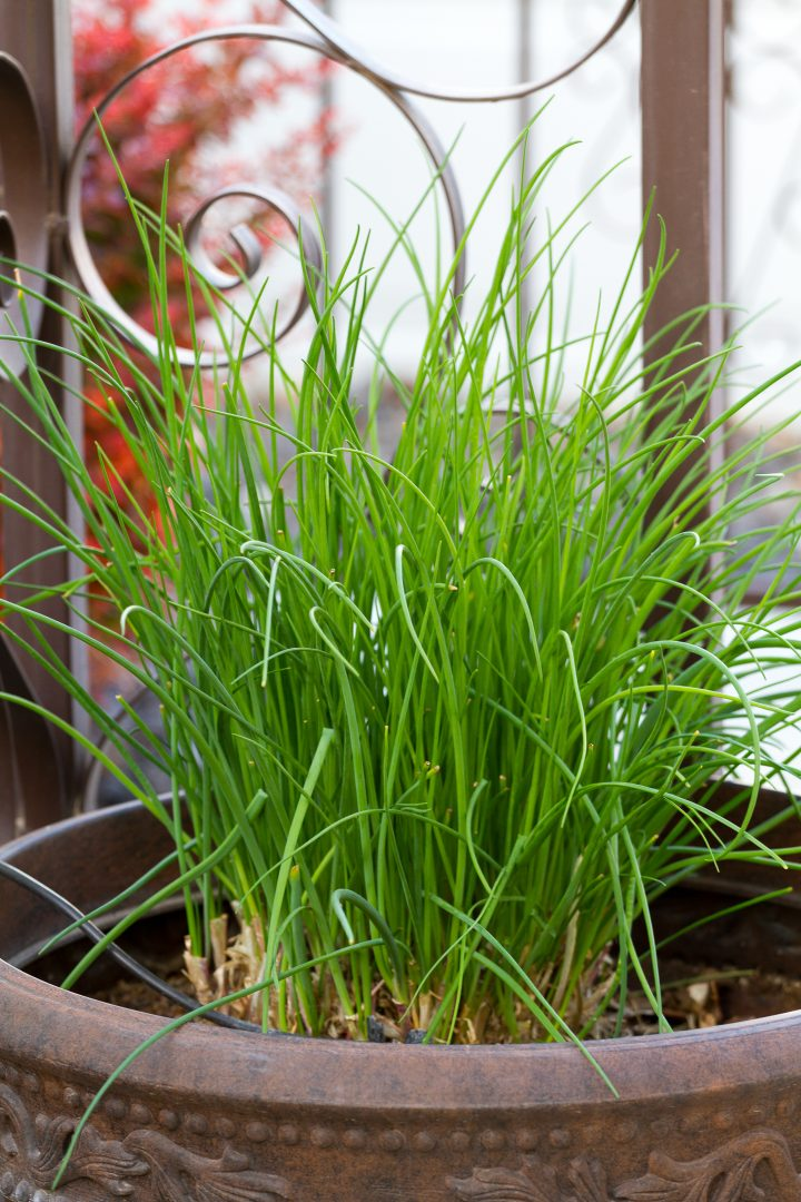 Chives growing in a pot