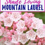 Mountain Laurel Care: How To Grow Shade Loving Kalmia latifolia