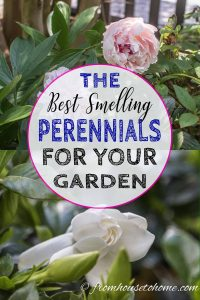 Best smelling perennials for your garden