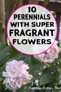 Perennials with super fragrant flowers