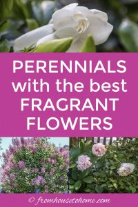 Perennials with the best fragrant flowers