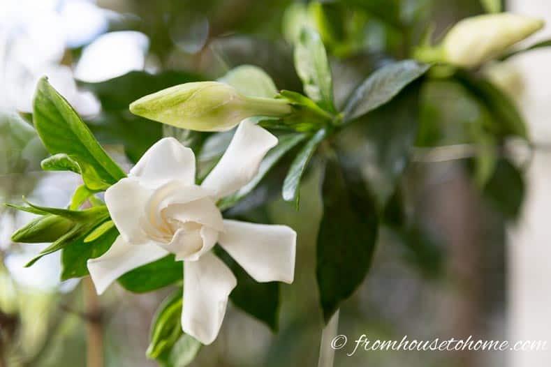 Gardenia 'Chuck Hayes' has flowers with beautiful perfume