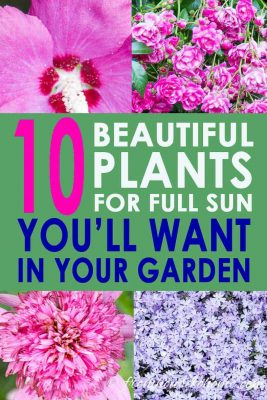 perennial flowers for full sun
