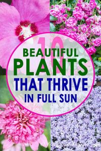 10 beautiful plants that thrive in full sun