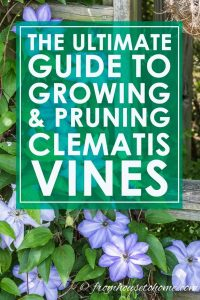 How to grow and prune Clematis vines