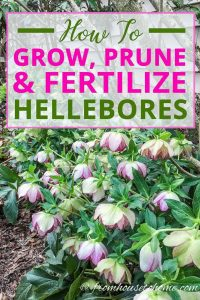 How to grow, prune and fertilize Hellebore flowers