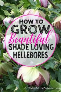 How to grow beautiful shade loving Hellebores