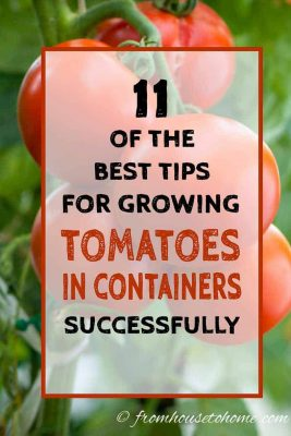 Growing Tomatoes In Planters With Success