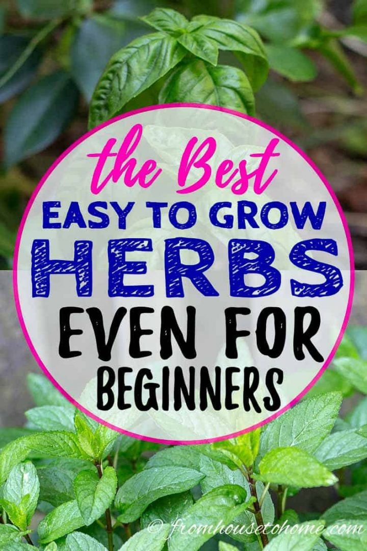The best easy to grow herbs even for beginners