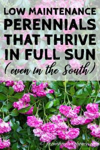low maintenance perennials that thrive in full sun (even in the south)