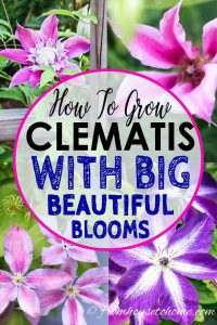 How to grow Clematis with big beautiful blooms