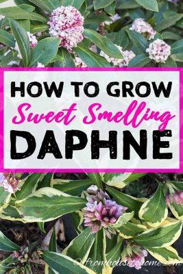 Fragrant Daphne