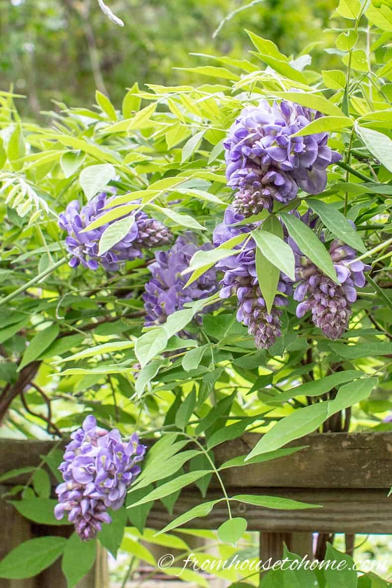 Wisteria is an invasive plant species