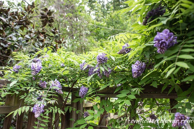 Wisteria covering the fence