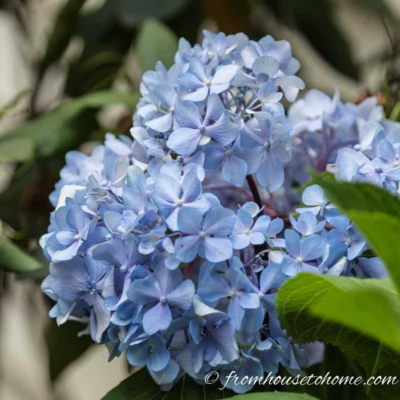 Why Are My Hydrangeas Not Blooming