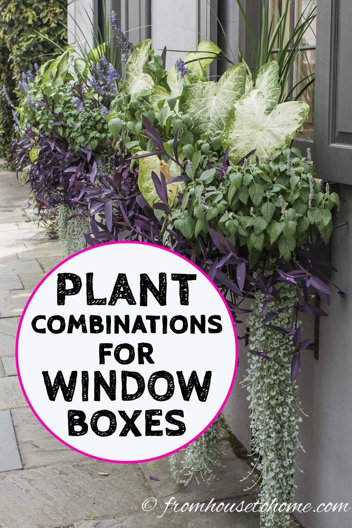 Plant combinations for window boxes