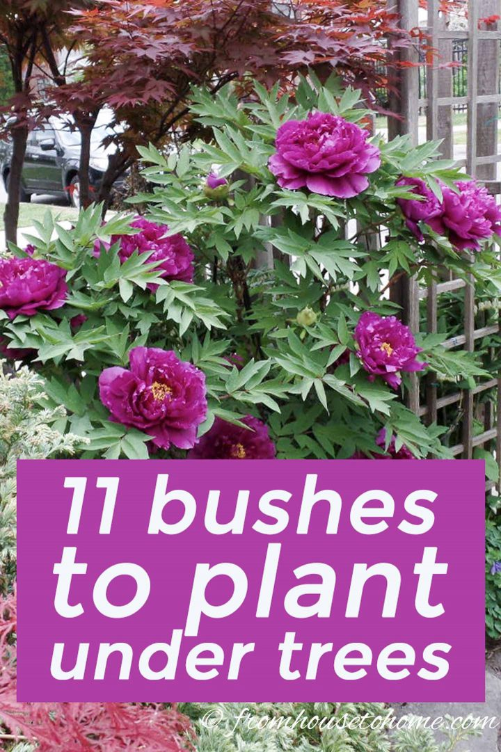 Shade Loving Shrubs 15 Beautiful Bushes To Plant Under Trees