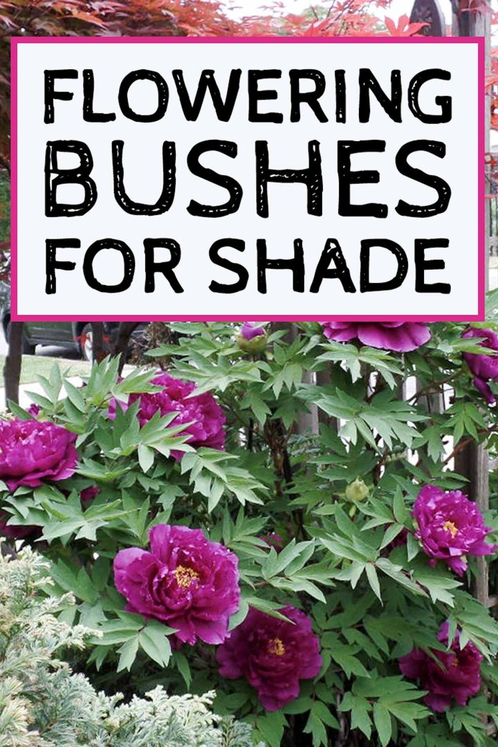 flowering bushes for shade
