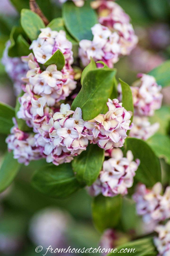 Shade loving shrub: Daphne