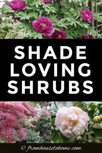 shade loving shrubs