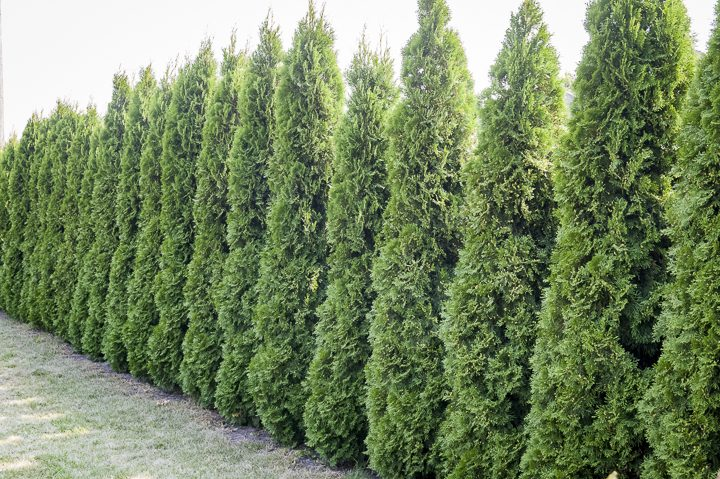 Thuja privacy hedge ©rlat- stock.adobe.com