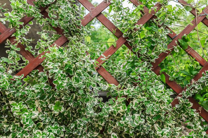 Euonymus growing on a trellis privacy screen ©Fotoksa - stock.adobe.com
