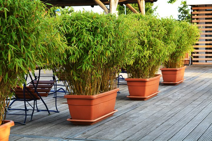 Bamboo growing in planters as a privacy screen ©doji1989 - stock.adobe.com