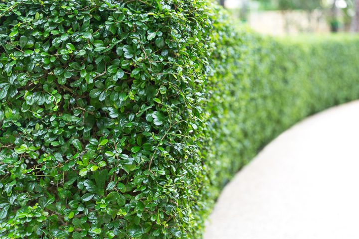 Boxwood privacy hedge ©ELENA - stock.adobe.com