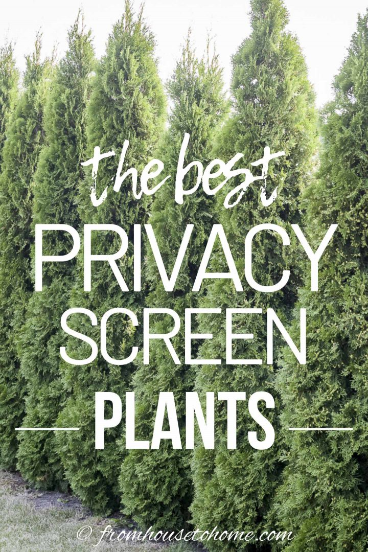 The best backyard privacy screen plants