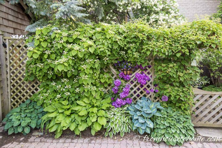 Vertical landscape with vines, hostas and rhododendrons on a lattice fence