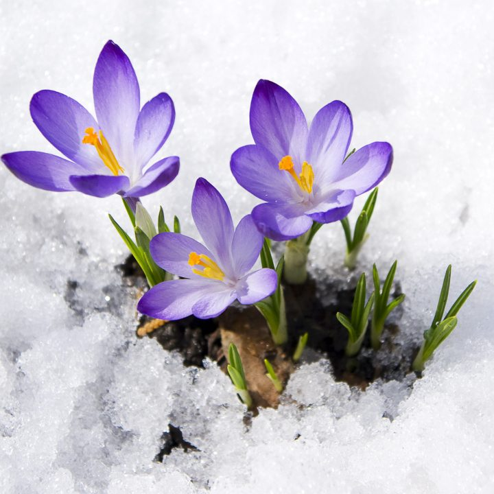 Purple crocuses growing in the snow ©Irina Volkova - stock.adobe.com