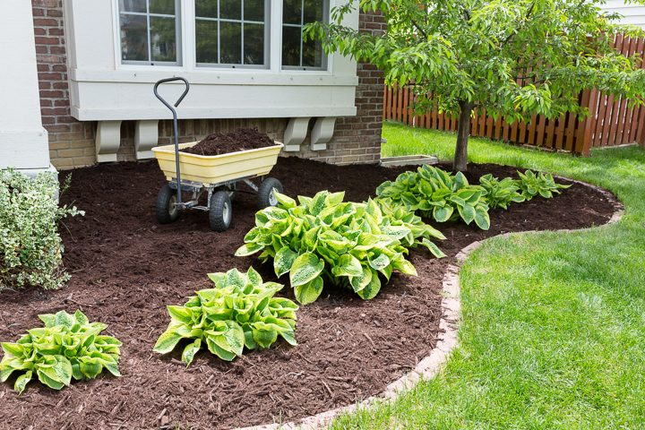 Hostas in a garden with mulch © Coskun.tv - stock.adobe.com