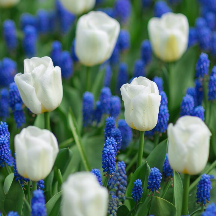 White tulips with blue muscari ©lermont51 - stock.adobe.com