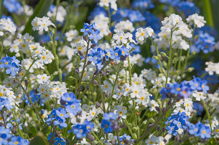 Blue and white forget me nots ©SusaZoom - stock.adobe.com