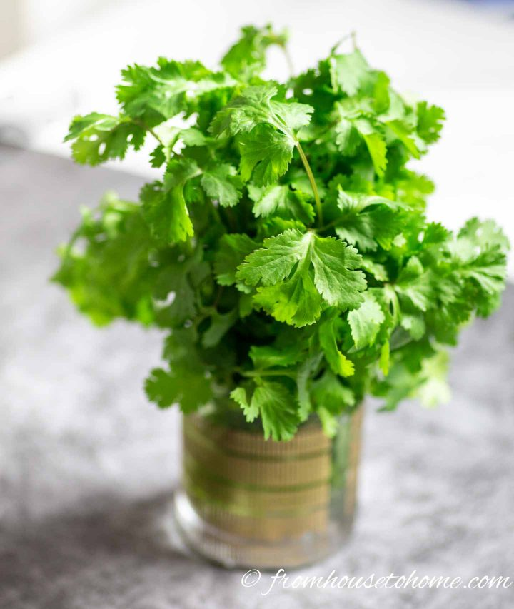 Fresh cilantro in a glass of water after being in the refrigerator for 2 weeks