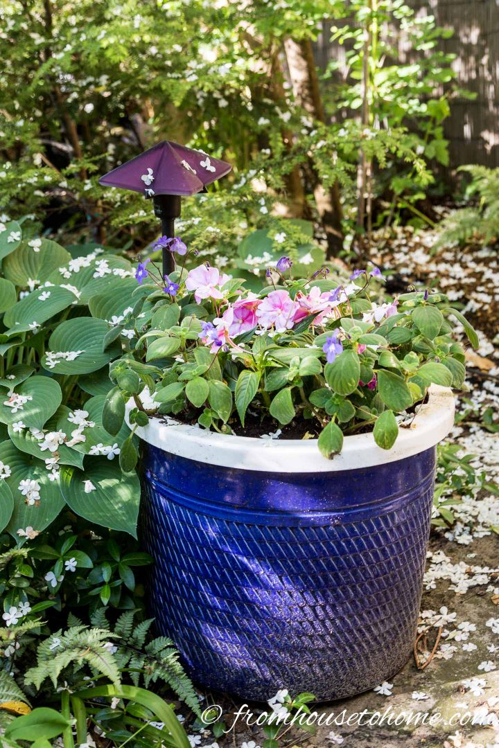 Impatiens in a large blue pot