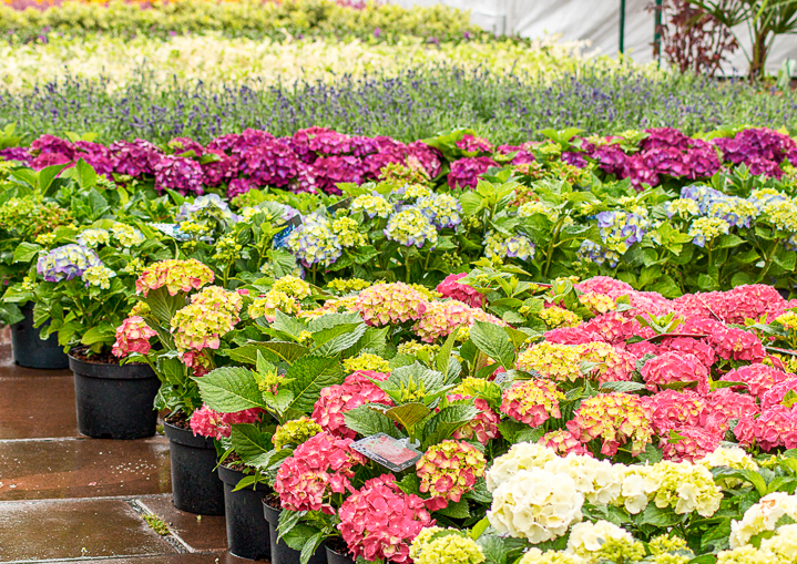 Rows of Hydrangeas at a nursery ©stocksolutions - stock.adobe.com