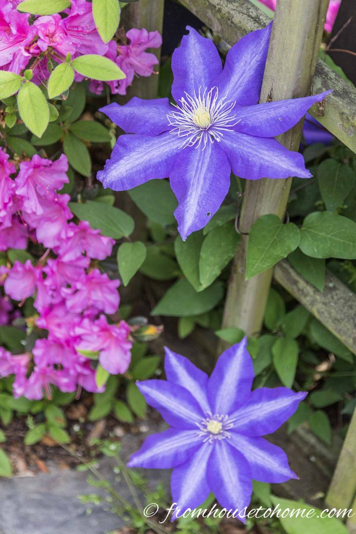 Purple and pink analogous garden color scheme with clematis and azaleas