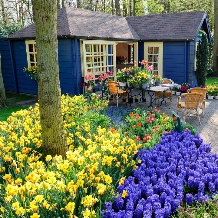 Yellow and purple complementary garden color scheme with daffodils and hyacinths against a purple and yellow painted garden shed ©Grecaud Paul - stock.adobe.com