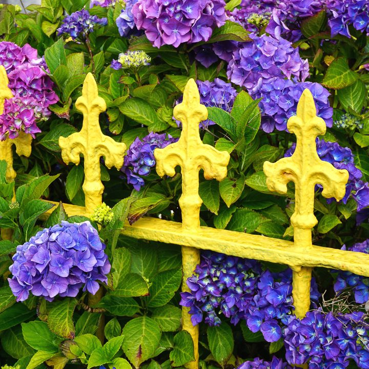 Yellow and purple garden color scheme with yellow fence and purple hydrangeas ©John - stock.adobe.com