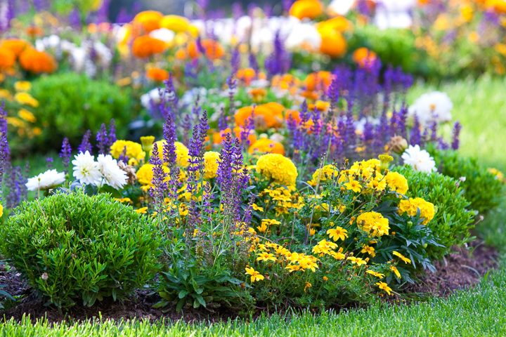Yellow, orange and purple dual complementary garden color scheme