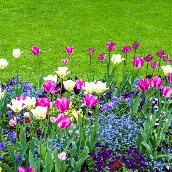 Analogous garden color scheme with pink and white tulips, purple pansies and blue forget me nots ©eyetronic - stock.adobe.com