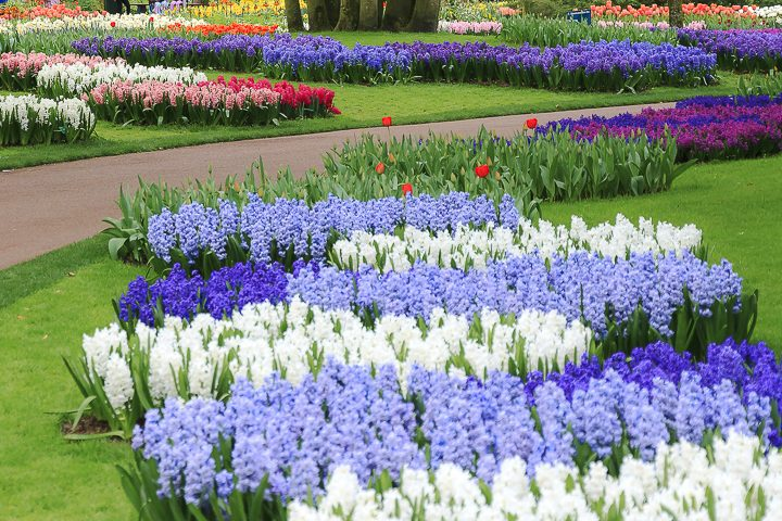 Monochromatic blue garden color scheme with blue and white hyacinths ©dennisvdwater - stock.adobe.com